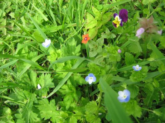 005Wild flowers - speedwell, heartsease, scarlet pimpernel & red deadnettle