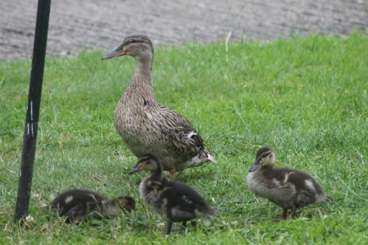 006Mallard duck with ducklings