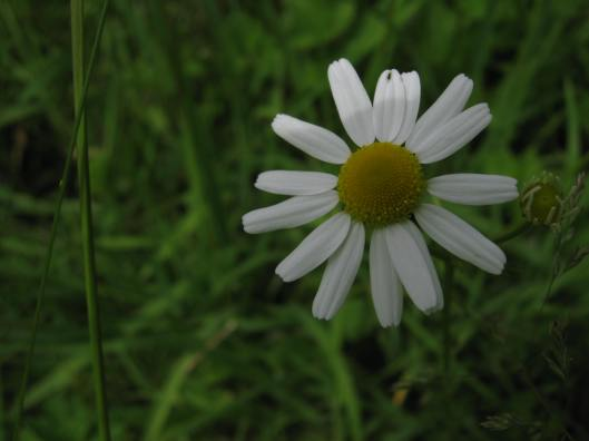 009Scented Mayweed