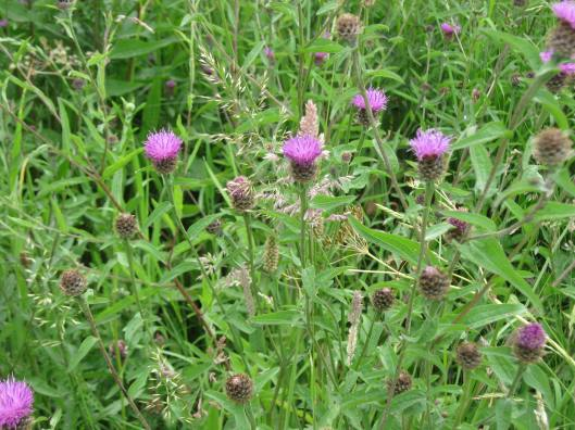 011Common Knapweed