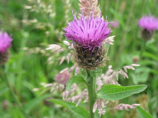 012Common Knapweed