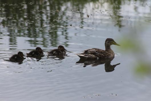 014Mallard duck with 3 ducklings