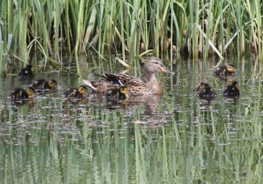 016Mallard duck with 8 ducklings