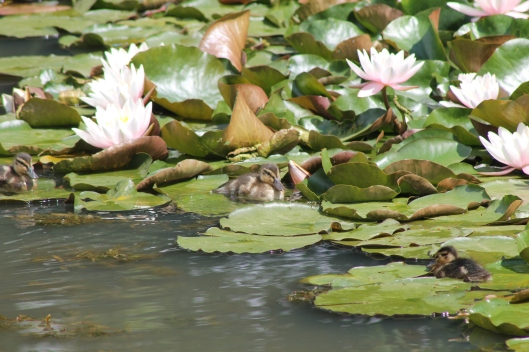 017 Three ducklings resting on lily-pads