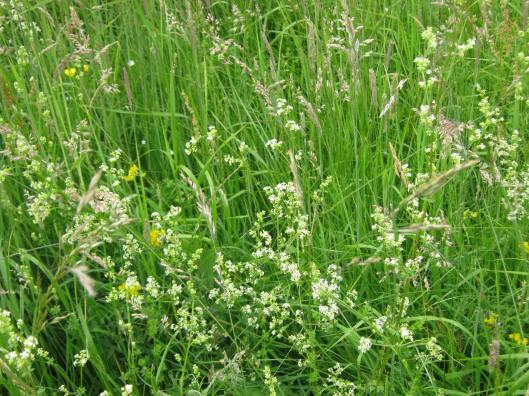 017Common Marsh Bedstraw