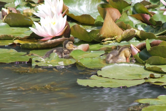 018Two ducklings resting on lily-pads