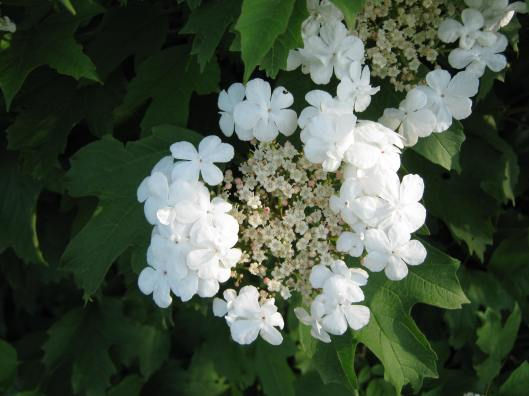 019Guelder rose flower