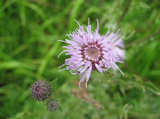 022Greater Knapweed
