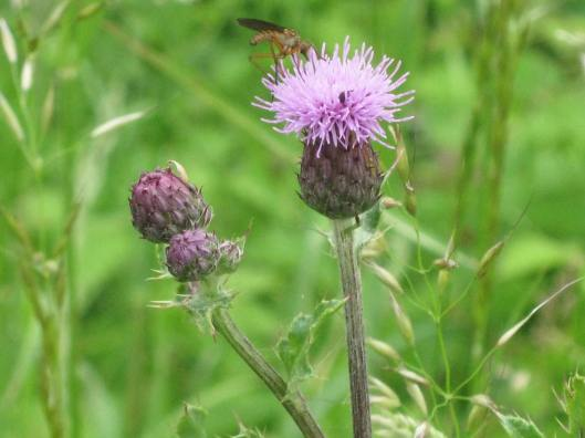 027Greater Knapweed with mosquito