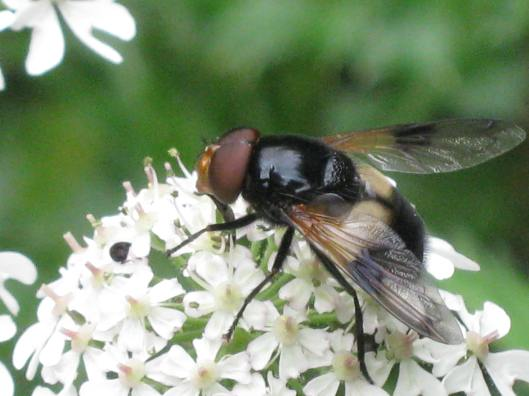 029Hoverfly on hogweed
