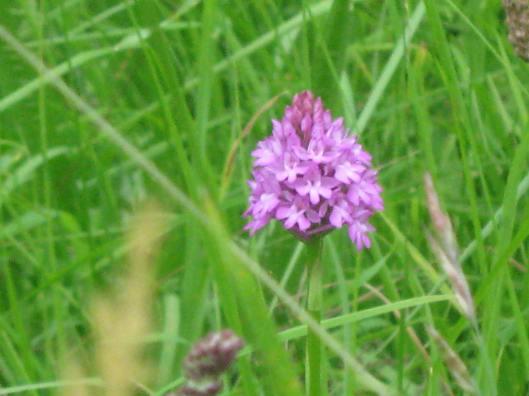 041Pyramidal orchid
