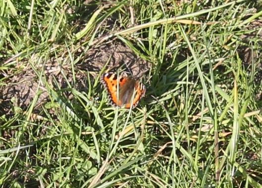 044Lesser Tortoiseshell butterfly