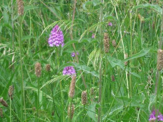 045Pyramidal orchid and other flowers