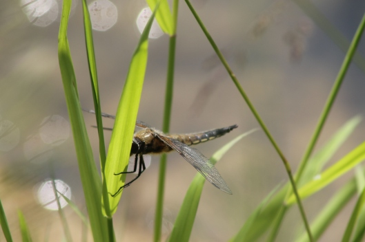 051Four-spotted chaser
