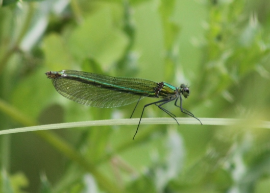 056Female banded demoiselle