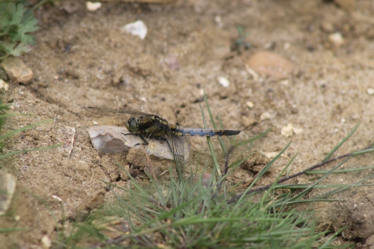 060Male black-tailed skimmer
