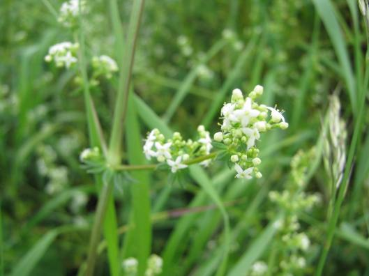 063Common Marsh Bedstraw