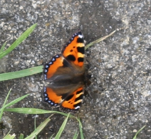 070Tortoiseshell butterfly