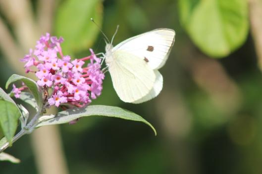 007White butterfly on buddleja