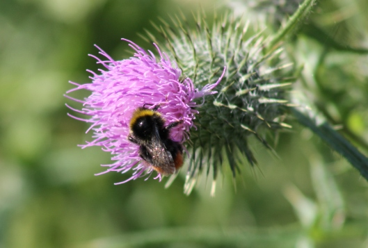 012Bumble bee on thistle