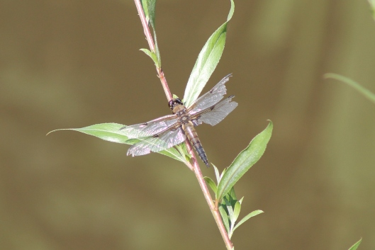 015Dragonfly