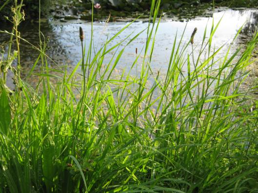 016Pond through grass