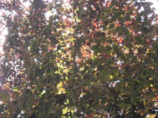 036Copper beech leaves (2)