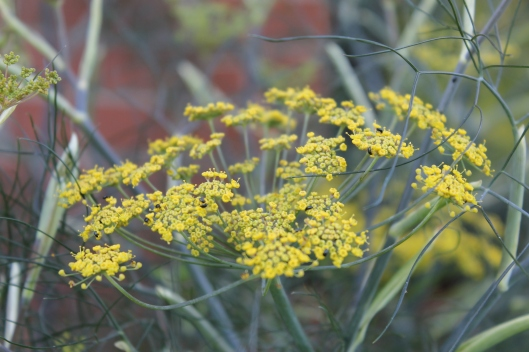 046Bronze fennel flowers