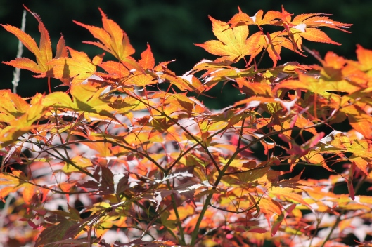 001Acer leaves