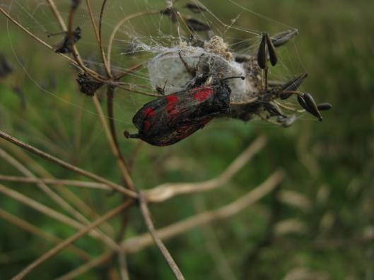 002Burnet moth caught in web