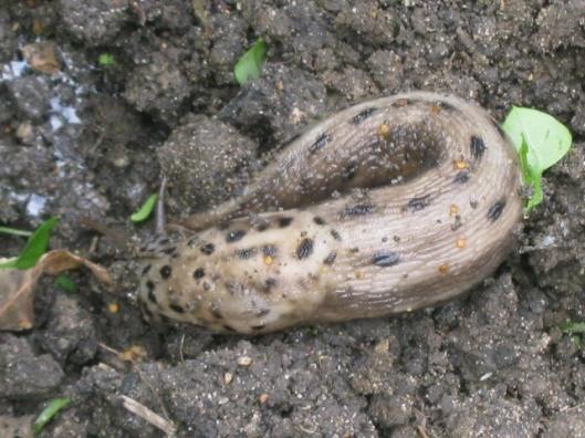 002Leopard slug (640x480)