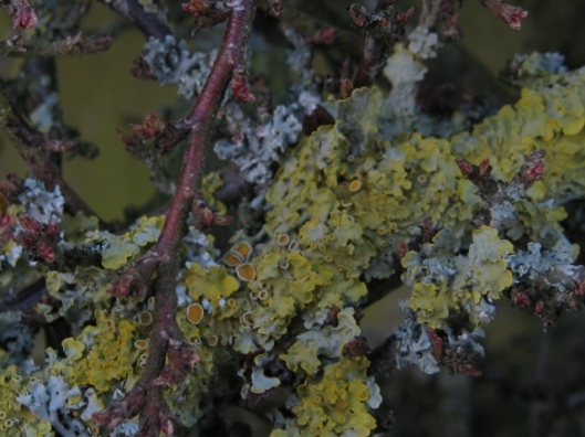 004Two types of lichen on cotoneaster (640x480)