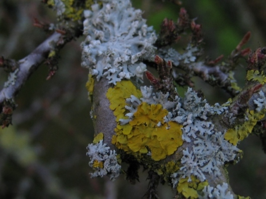 005Two types of lichen on cotoneaster (640x480)