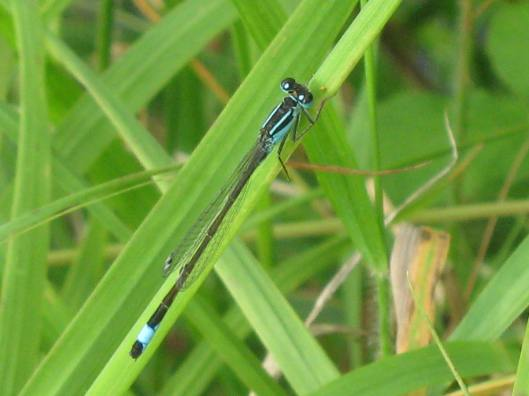 006Blue-tailed damselfly