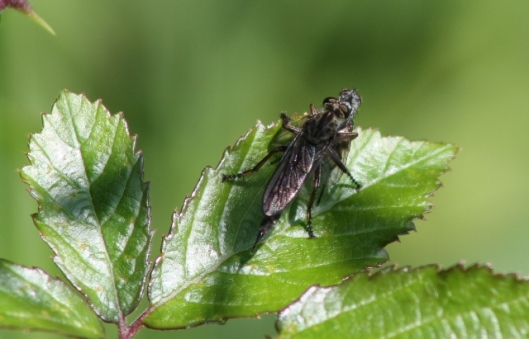 006Robber Fly with victim (640x411)