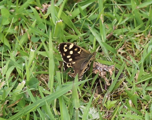 006Speckled Wood butterfly