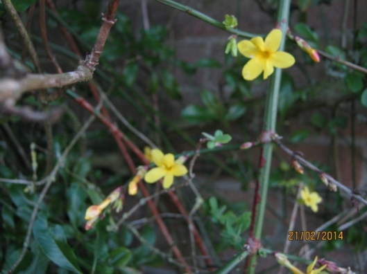 006Winter-flowering jasmine (640x480)