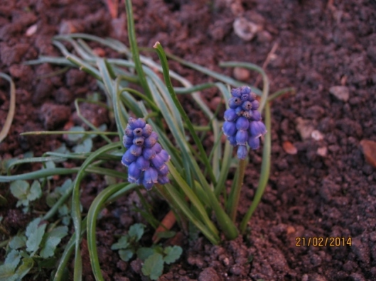 008Grape hyacinth (640x480)