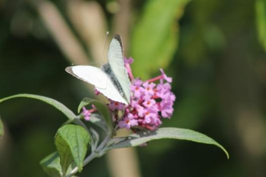 008White butterfly on buddleja (640x427)