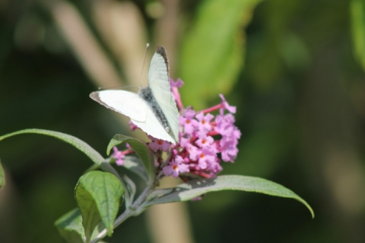 008White butterfly on buddleja (640x427)