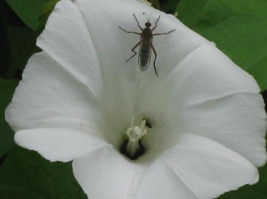 009Bindweed flower with unidentified fly and pollen beetle