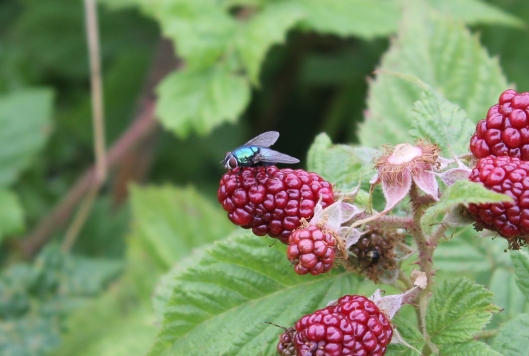 009Greenbottle on unripe blackberry