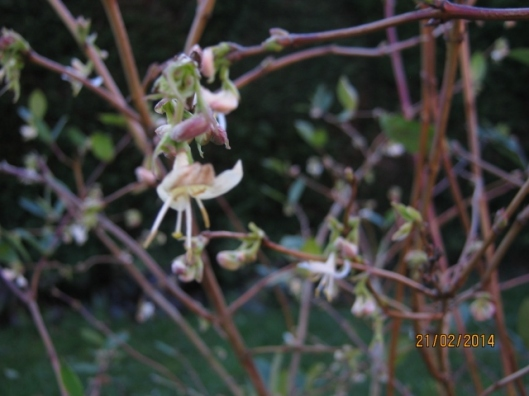 010Winter-flowering honeysuckle flowers (640x480)