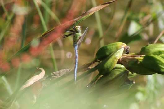011Male emperor dragonfly (640x426)