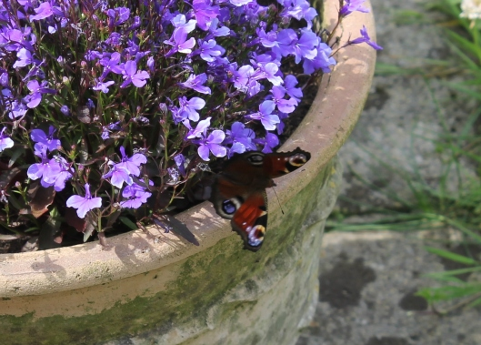 011Peacock butterfly on lobelia