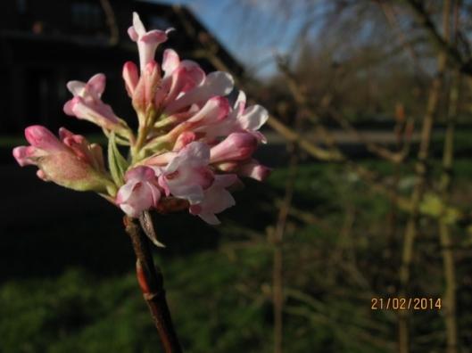 011Viburnum bodnantense flowers (640x480)