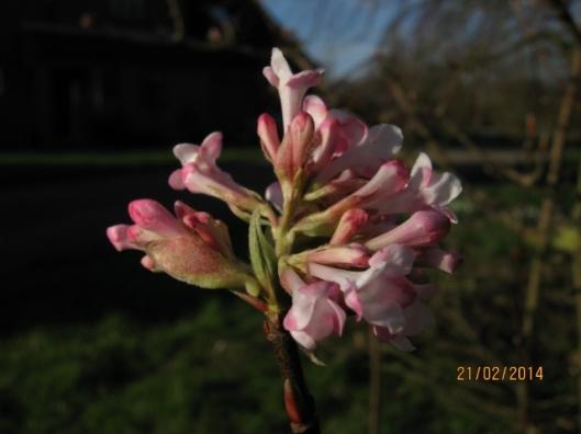 012Viburnum bodnantense flowers (640x480)