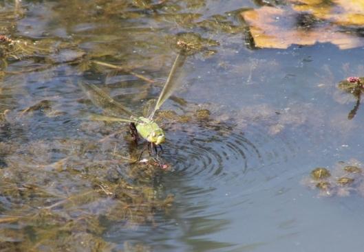014Female emperor dragonfly (640x445)