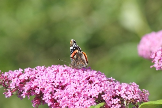 014Red Admiral (640x427)
