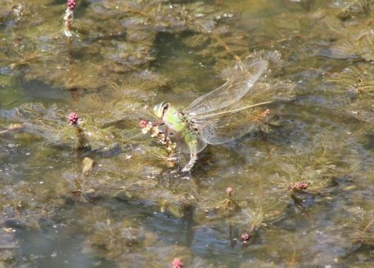 015Female emperor dragonfly (640x460)